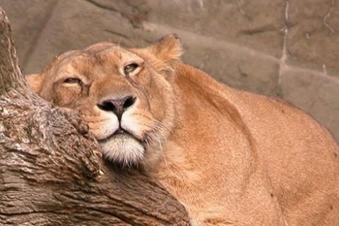 Lazy lion banner